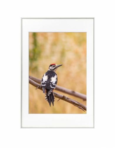 12 - Pica-pau-malhado-grande (Dendrocopos major)
