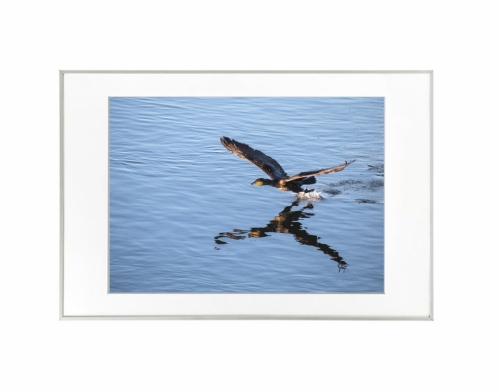 3 - Corvo-marinho-de-faces-brancas (Phalacrocorax carbo)