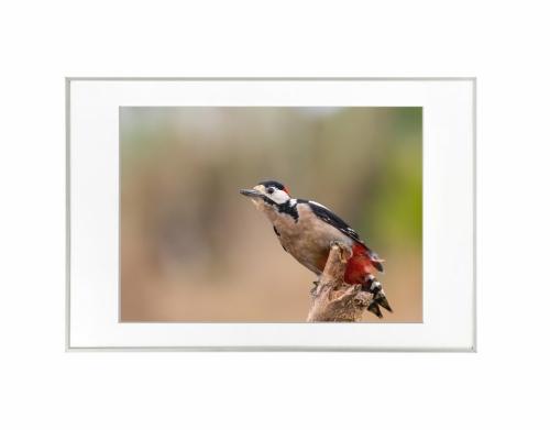 13 - Pica-pau-malhado-grande (Dendrocopos major)