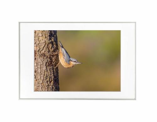 16 - Trepadeira-azul (Sitta europaea)